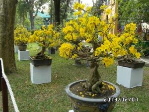 Hoa mai - Mai Blume, Symbol von Tet im Suden