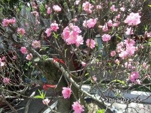 Hoa đào - Prunus Blume, Symbol des Tết-Fest im Norden(Ảnh TNG 2013)