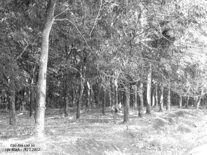 Rừng cao su Lộc Ninh - Plantation de caoutchouc à Loc Ninh en 2013 - Photo Mathilde Tuyet Tran