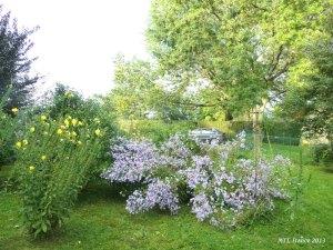 Bụi hoa tím rủ ong bướm đến vườn, hút nhụy hoa - MTT, 2013