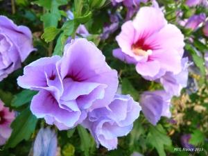 Hoa dâm bụt mầu tím xanh - Photo MTT 2013
