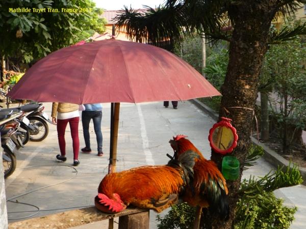 Hai con gà gác cổng chùa Tảo Sách được che dù, có gương soi, nước uống. Chú gà trống gục ngủ trên cái đĩa đựng thóc ăn đã hết sạch. Photo: MTT, hà Nội 2013