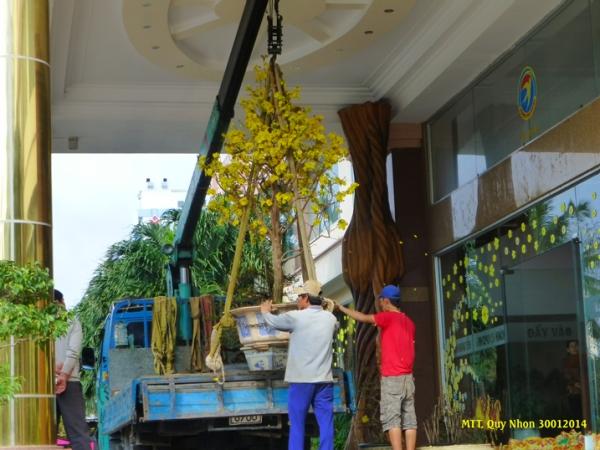 """Một cây mai tuyệt đẹp, chỉ vì tội nở rộ hoa trước Giao Thừa, đang bị """"áp giải"""" về vườn, thay thế bằng một cây khác còn chúm chím nụ. Photo: MTT 2014"""