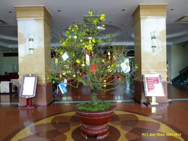 Cây mai giá một trăm triệu đồng vn, sau Tết được về vườn chăm sóc để nở hoa cho Tết sau. Photo: MTT 2014