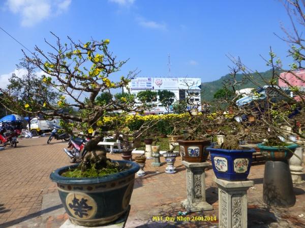 Les pots de fleur de Mai, symbole du printemps et de la fête du Tết dans le Sud du Vietnam, à vendre  au marché de fleurs - Photo MTT 2014