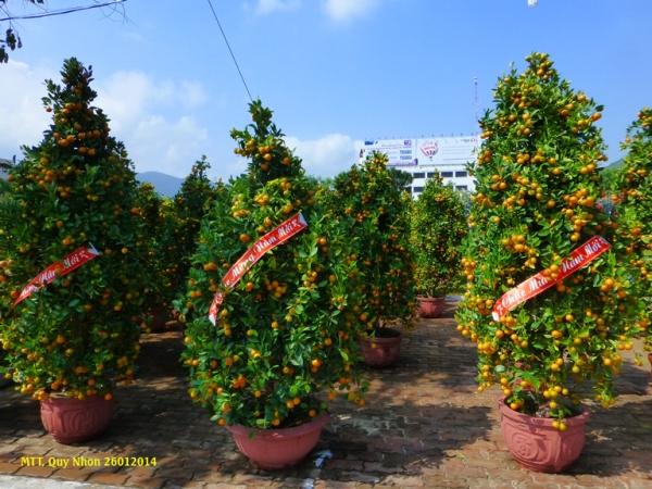 """Les """"quất"""", indispensable pour fêter le Tết, symbole de la fructìication et du succès..."""
