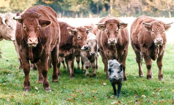 Rinderherde adoptiert Wildschwein