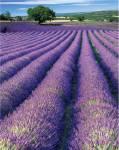 005923-Lavande-de-Grasse_1x500